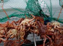 網で捕獲したタラバガニたち